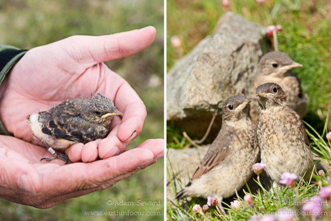 Wheatear chicks and fledglings.