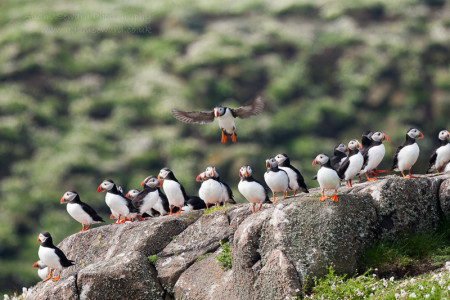 Plenty of puffins on the Isle of May
