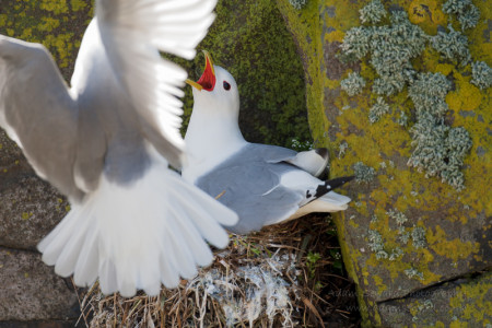 A kittiwake begging for food from its partner...