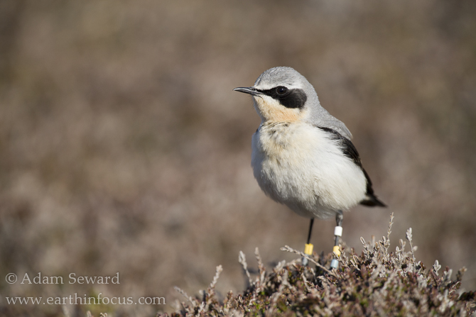 Male wheatear with identifying plastic colour rings.