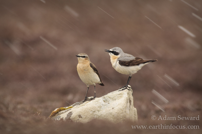 Pair of wheatears: female on the left, male on the right.