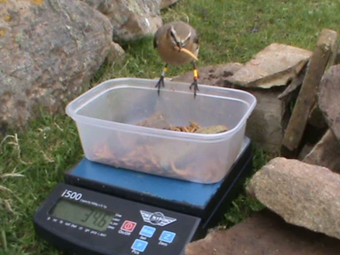 Female wheatear being weighed while taking mealworms at a feeding station.