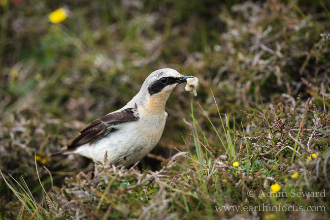 Male wheatear removing faecal sac from nest.
